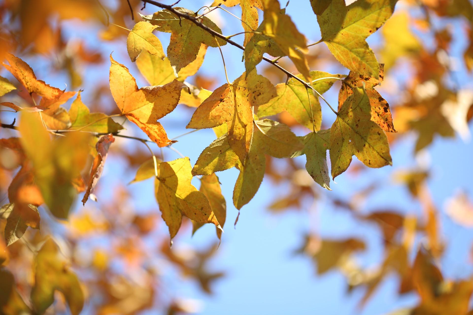 背景 壁纸 绿色 绿叶 树叶 银杏 银杏树 银杏叶 植物 桌面 1920_1280